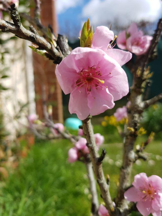 Fleur pecher Avril