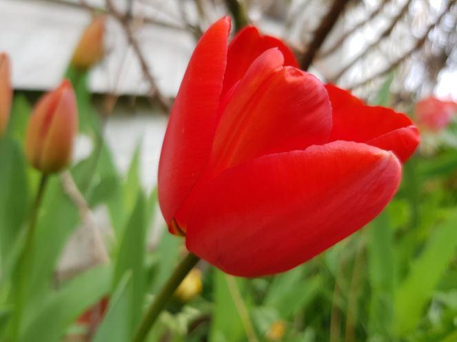 Tulipe 3 bis OK