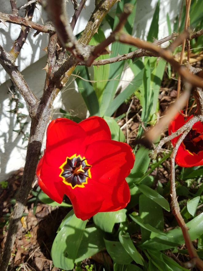 Tulipe 3 OK
