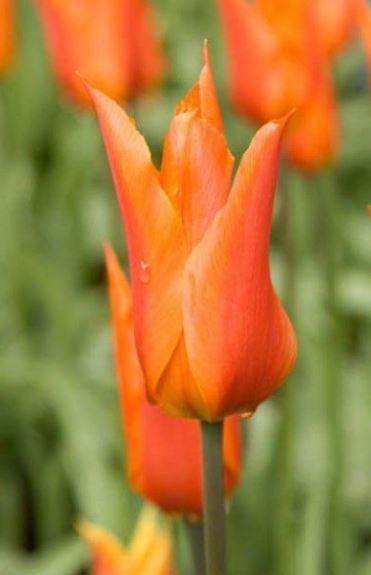 Tulipe fleur de lys Ballerina