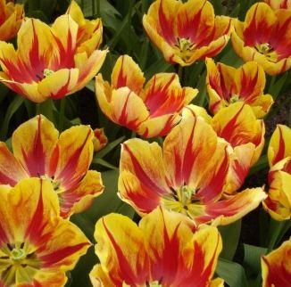 Tulipe Triomphe Augusta Taurinorum