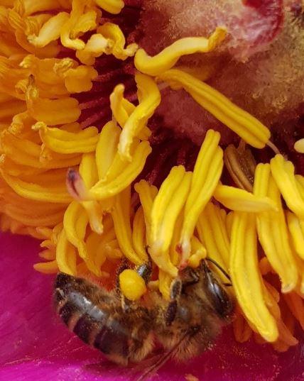 Pavot New Pollen