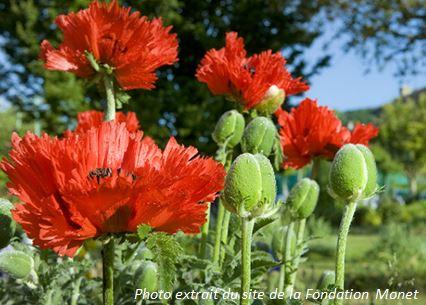 Pavot photo du site du jardin Giverny