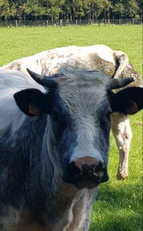 Vache Haute Lesse